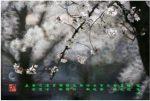 43 《樱花颂》