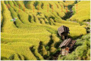 41贵州从江县秋收之旅 - 丰收季节