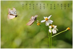 23蝶舞 ﹙蝴蝶微距镜头摄影作品﹚