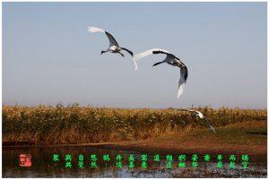 97【神州大地】齐齐哈尔扎龙-《飞鹤》